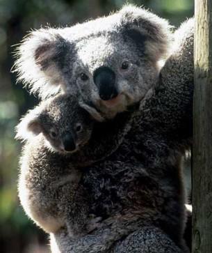 Koalas en Australie