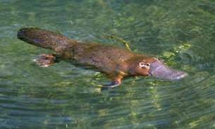 L'ornithorynque ou platypus