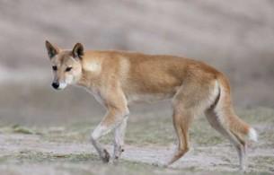 Le dingo en Australie
