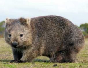 Wombat Australie